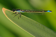 ../images/animals/demoiselle1.jpg