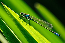 ../images/animals/demoiselle2.jpg