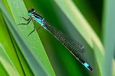 ../images/animals/demoiselle3.jpg