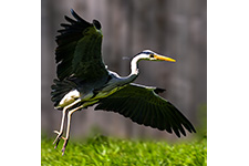 ../images/animals/heron.jpg
