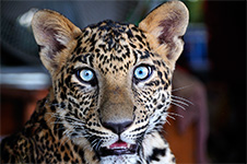 ../images/animals/leopard.jpg